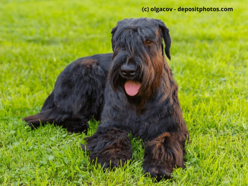 Riesenschnauzer Black Giant liegt im Gras und hängt Zunge raus