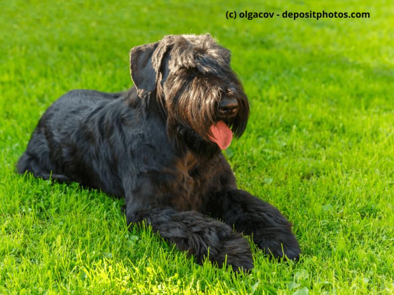 Riesenschnauzer Black Giant liegt im Gras und hat Augen zu