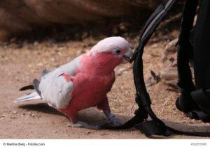 Rosakakdu, pink/grauer Vogel mit rosa Haube nagt gerade an einem kleinen Ast