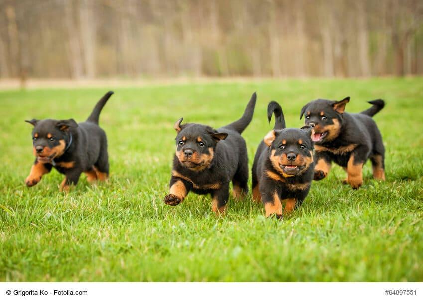 Laufende Rottweiler Welpen im typischen schwarz/braun