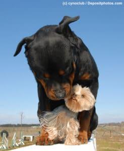 Rottweiler steht auf einem Podest und schaut nach unten zwischen einen Yorkshire Terrier, der zwischen seinen Pfoten sitzt und ihn anschaut und seine Schnute schleckt