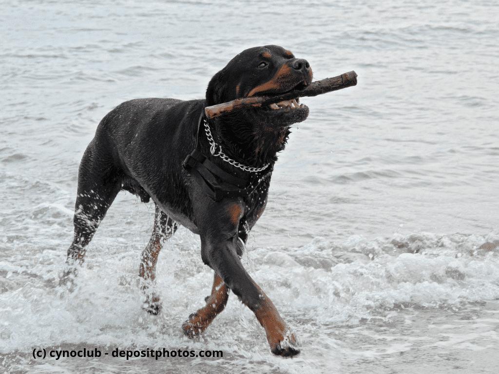 Rottweiler spielt im Meer mit einem Stock
