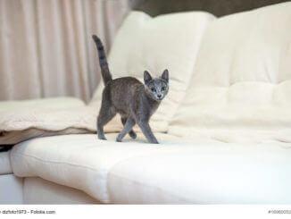 Ganz zierliche, junge Russisch Blau Katze