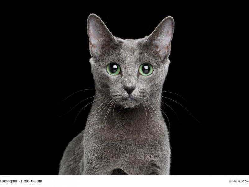 Russisch Blau Katze, grüne Augen