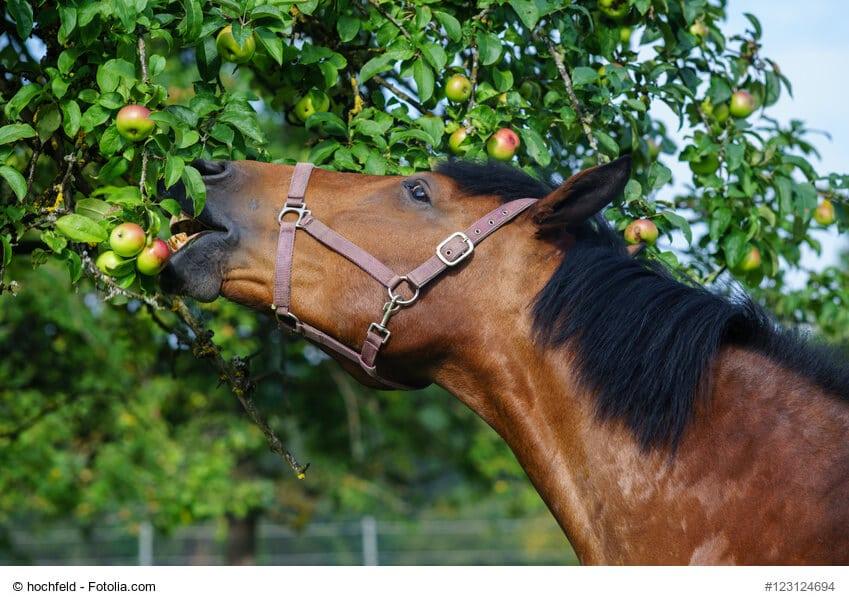Ein Pferd frisst Äpfel direkt von einem Baum