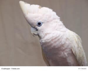 Salomonenkakadu, leicht rosa Vogel mit hellblauem Augenkranz