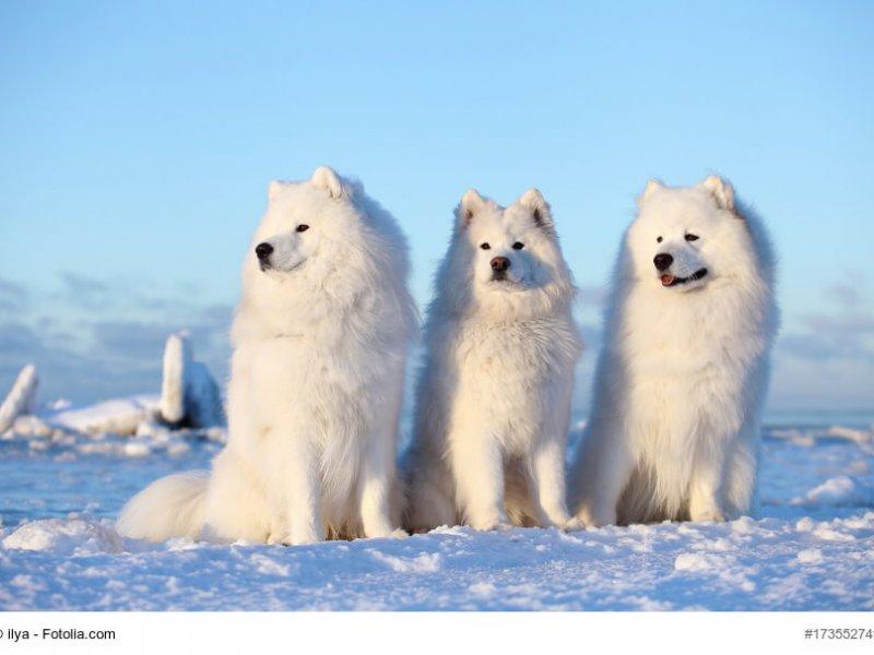 Samojeden Trio im Schnee