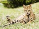 Eine Savannah Katze an der Leine im Gras liegend