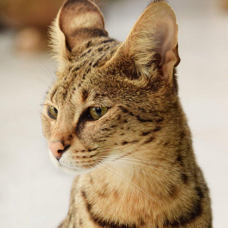 F1 Savannah Katze Portrait