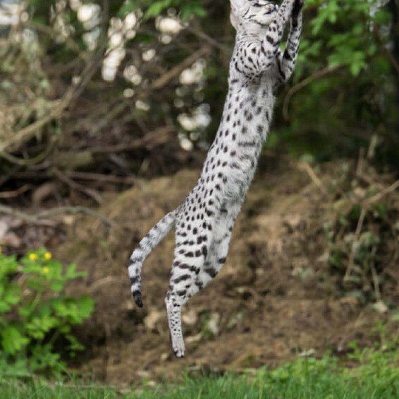 Savannah Katze im Sprung