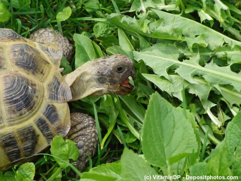 Landschildkröte frisst Löwenzahn