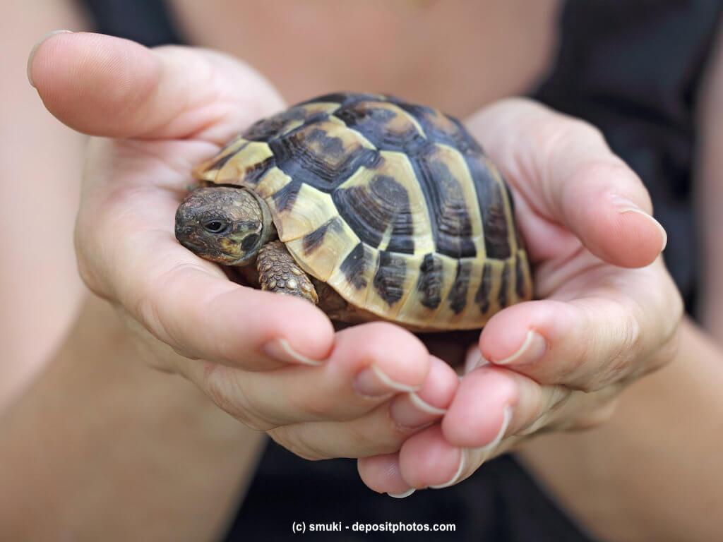 Landschildkröte in den Händen eines Mädchens
