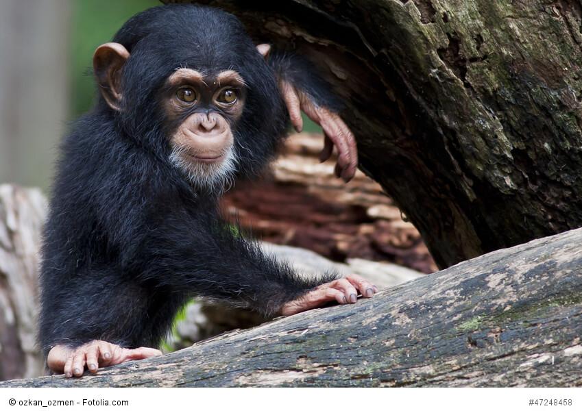 Schimpansen wie Tarzans Begleiter Cheeta sind beliebte Filmtiere