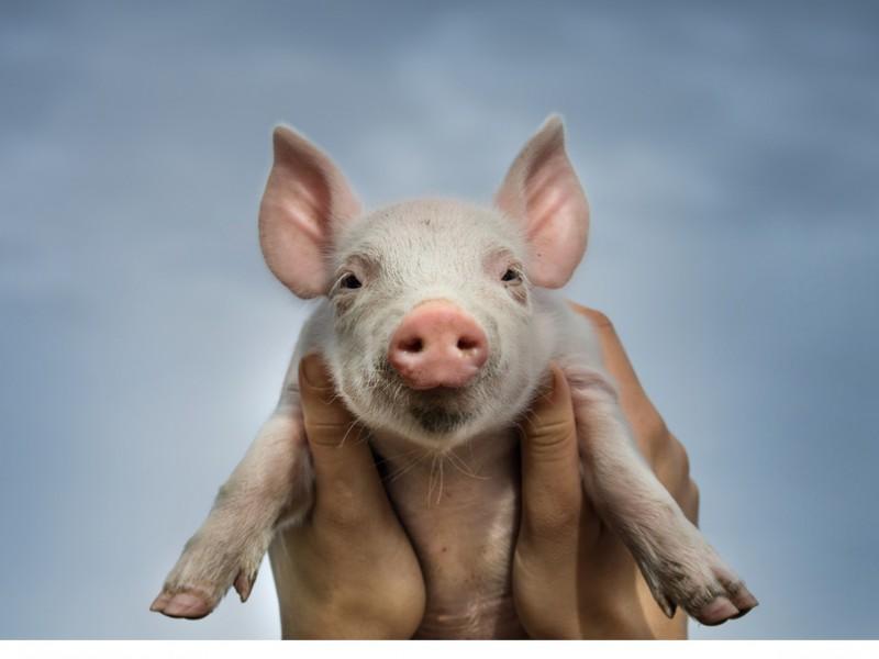 Das sprechende Schweinchen Babe wurde ein Filmstar