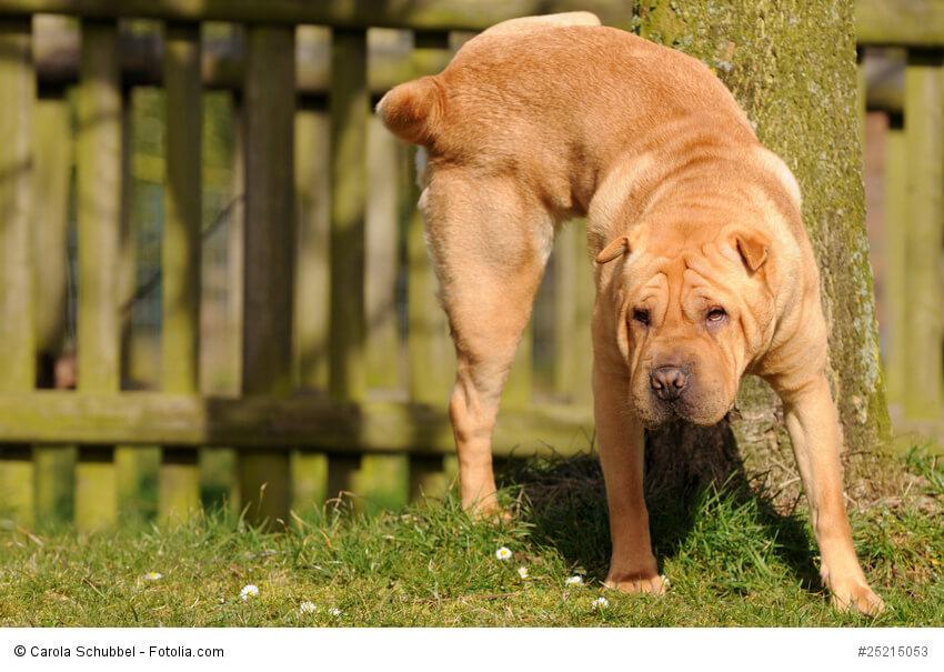 Shar Pei hebt Hinterbein und markiert an einem Baum