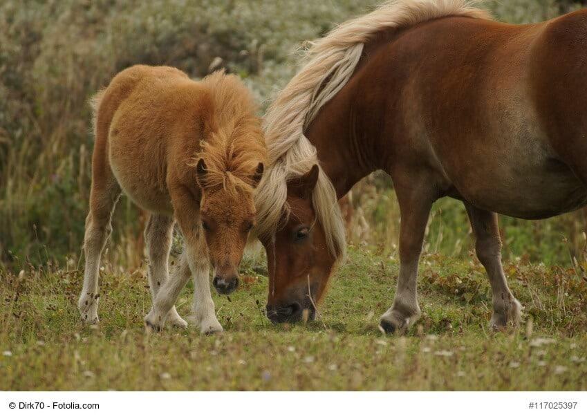 Pures Pferde Glück, Shetland Pony mit Fohlen