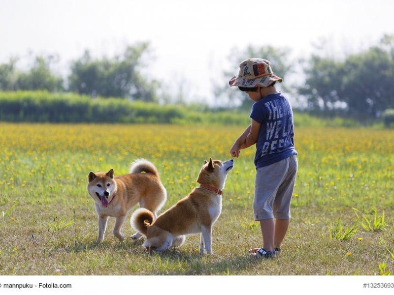 Shiba Inus mit Kind