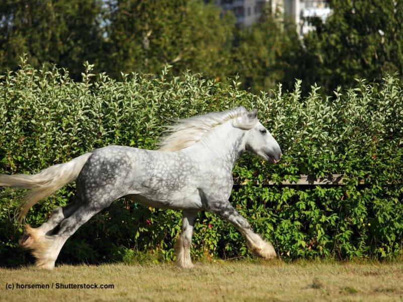 Shire-Horse-Apfelschimmel-galoppierend