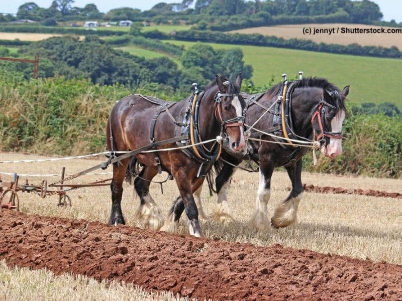 Shire-Horse-Feldarbeit