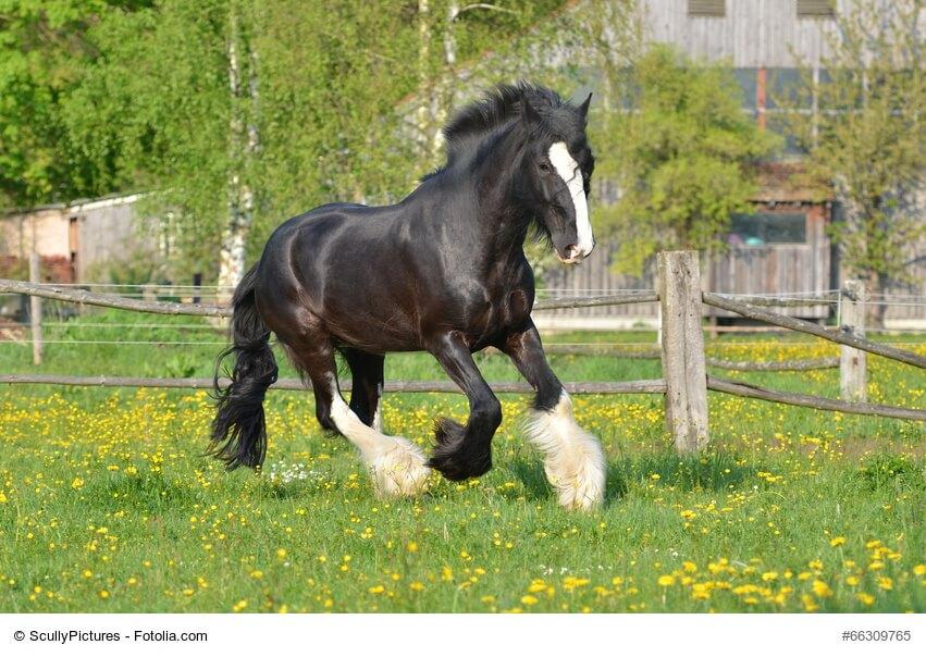Shire Horse Rasseportrait