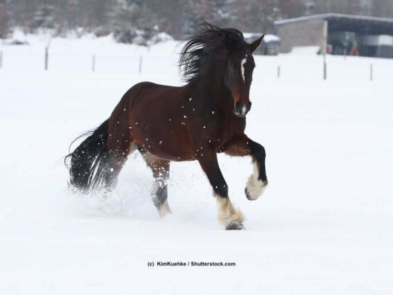 Shire-Horse-Schnee