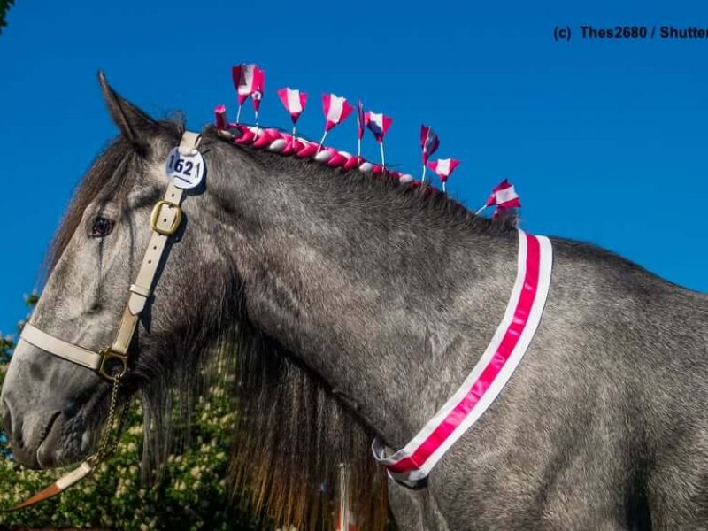 Shire-Horse-geschmueckt-Showpferd