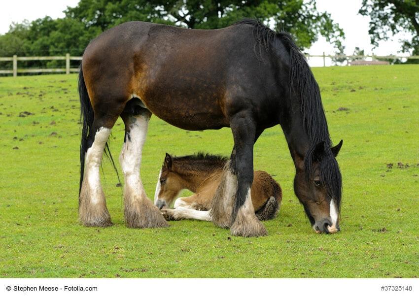 Fohlen und Shire Horse, die größte Pferderasse der Welt