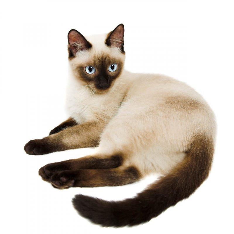 Siam Katze liegend vor hellem Hintergrund