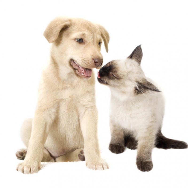 Siam Kitten und Welpe