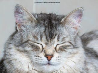 Portrait einer grau/ silber/ weißen Sibirische Katze