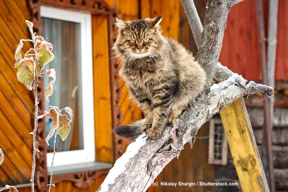 Sibirische Katze auf einem Kletterbaum sitzend