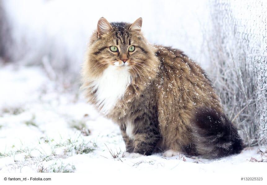 Sibirische Katze Rasseportrait