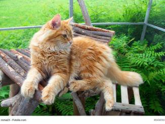 Rot/braune, liegende Sibirische Katze