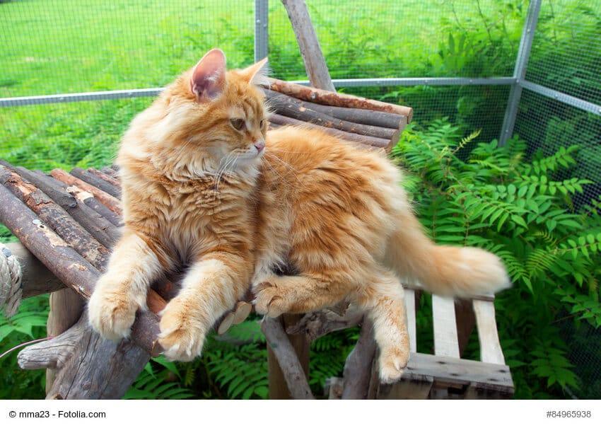 Sibirische Katze Steckbrief Herkunft Wesen Und Mehr