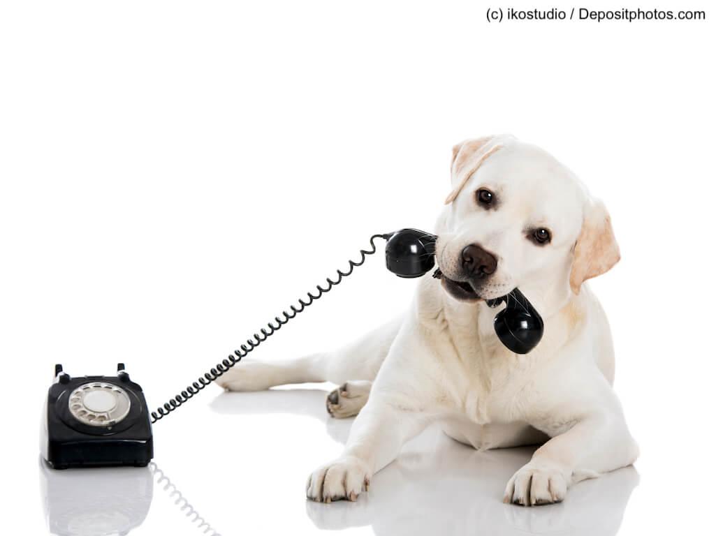 Labrador hat Telefon in der Schnauze vor weißem Hintergrund