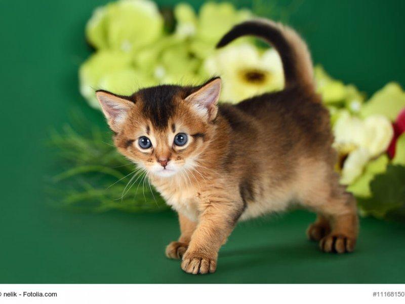 Somali Babykatze vor grünem Hintergrund
