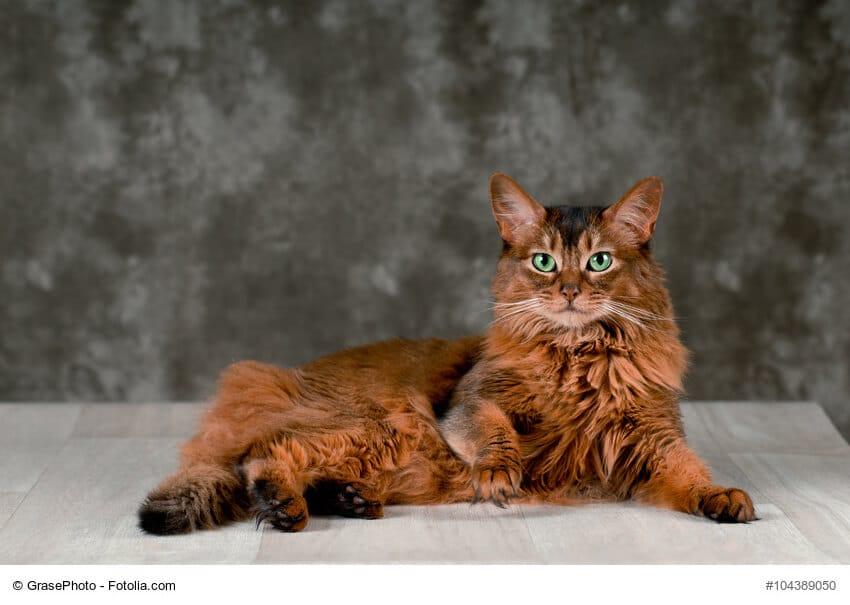 Somali Katze braun, liegend vor grauem Hintergrund