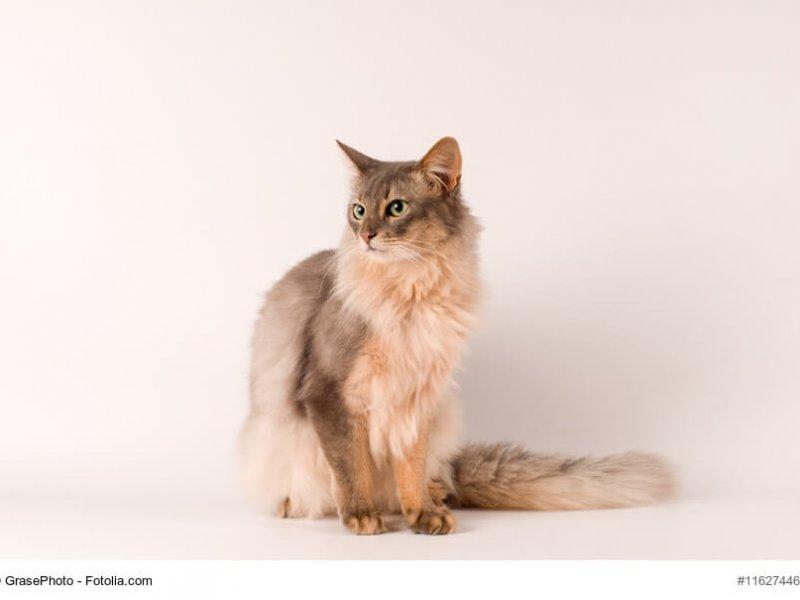 Somali Katze blau / creme