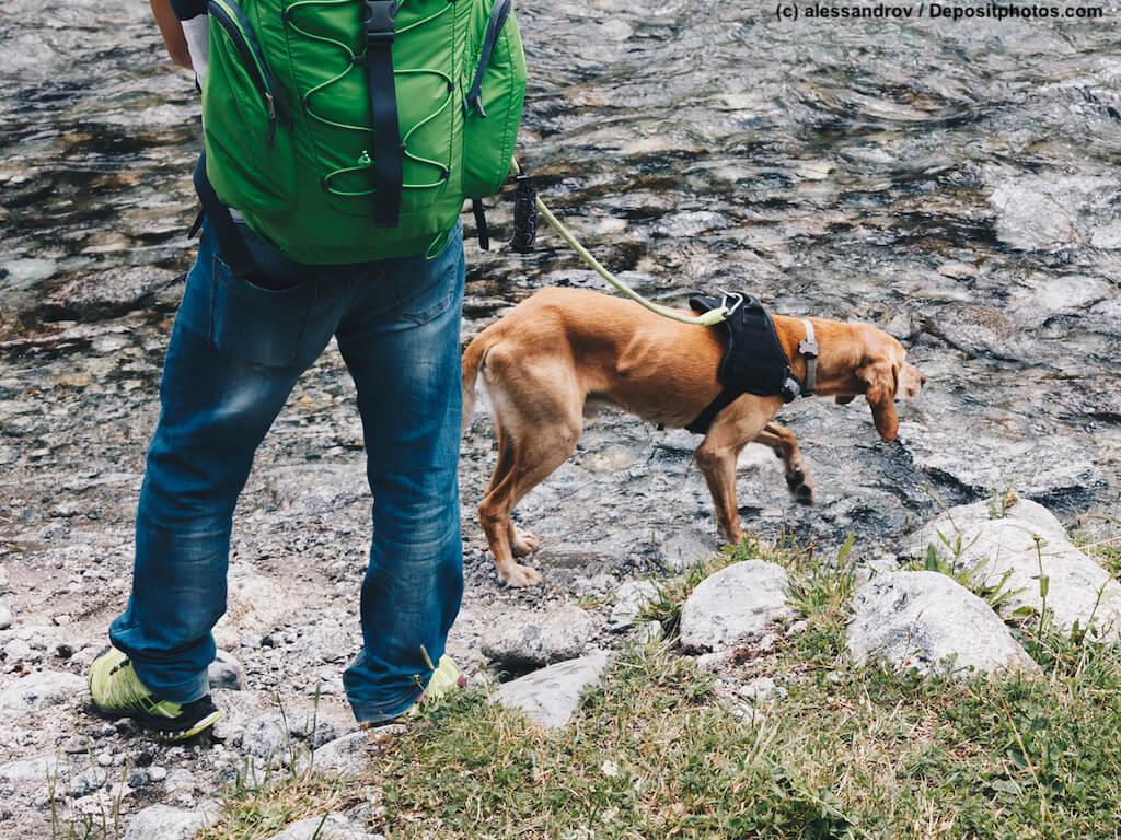 Angeleinter Hund wittert Fährte am Wasser