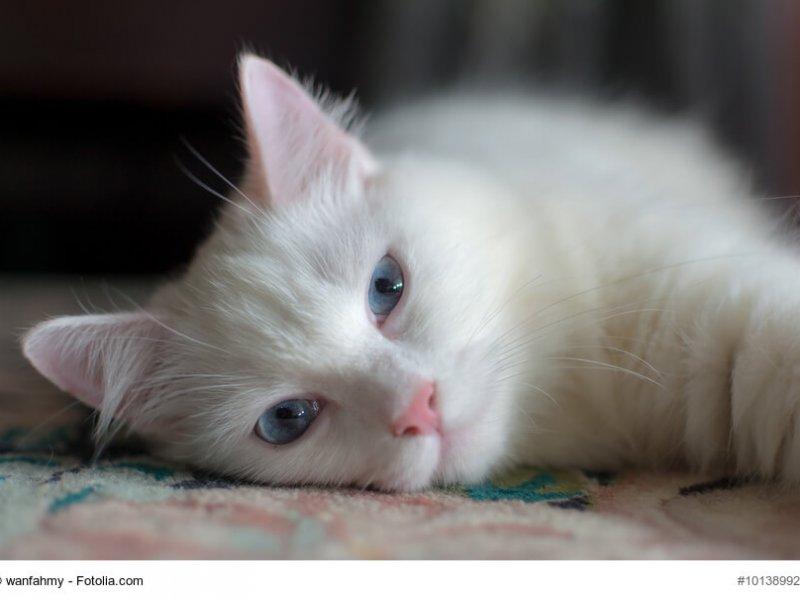 Schlafende Türkisch Angora Katze