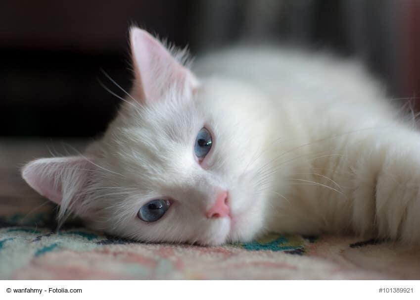 Angora Katze weiß, müde