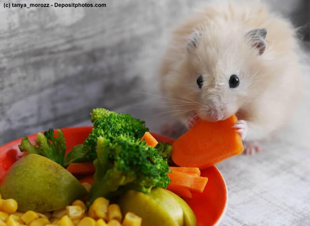 Junger Teddyhamster frisst ein Stück Möhre aus einer Schale mit Obst und Gemüse