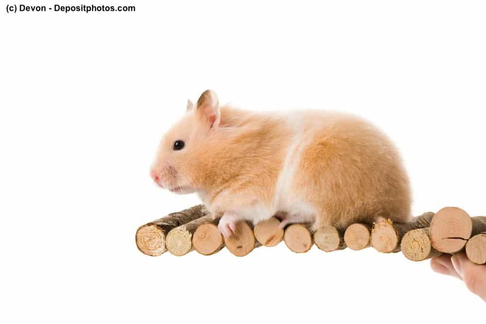 Teddyhamster auf Holzstückchen vor weißem Hintergrund