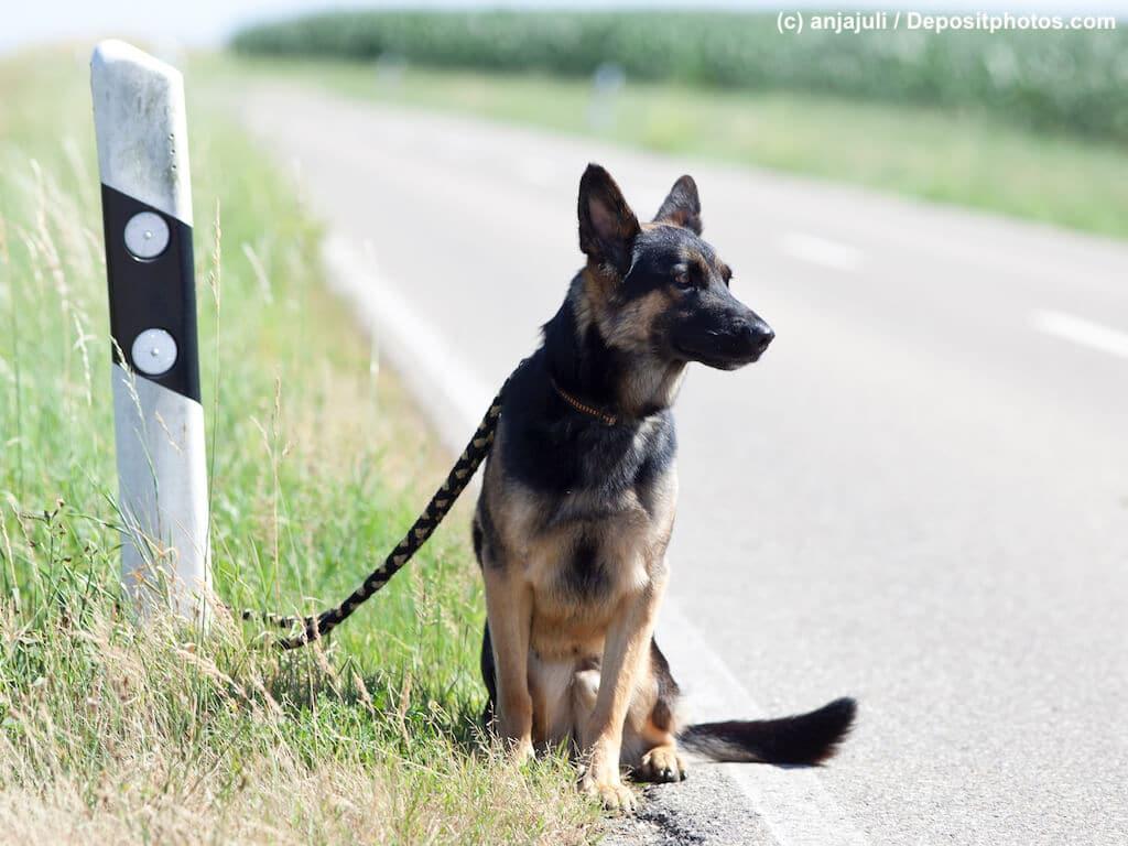 Schäferhund sitzt angebunden und ausgesetzt am Straßenrand
