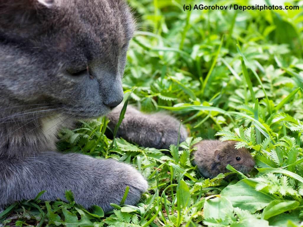 Katze liegt im Gras und beobachtet eine kleine Maus vor ihren Pfoten