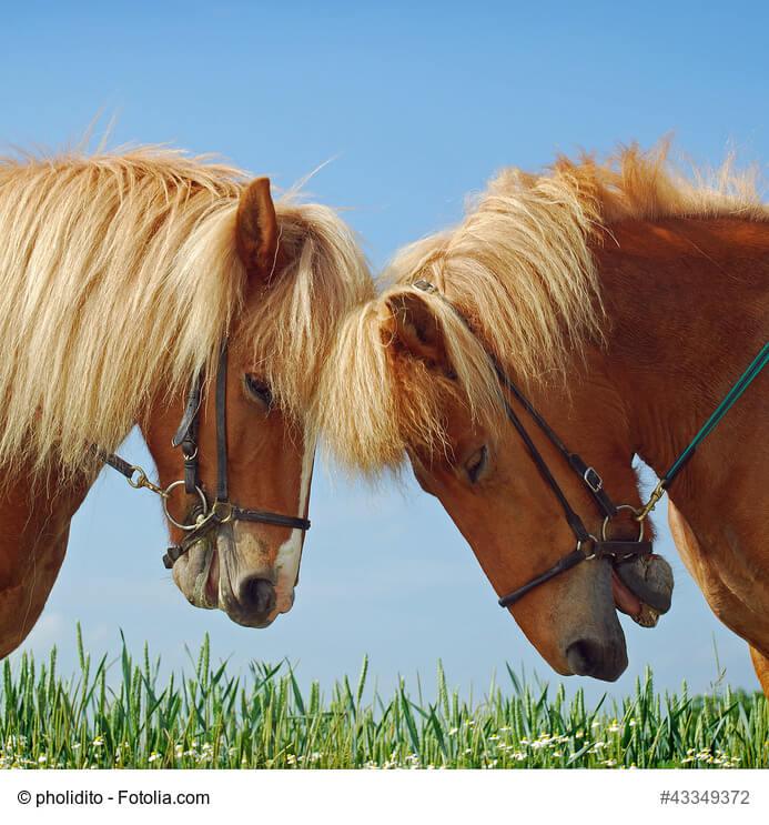 Zwei Pferde mit Hannoverschem Reithalfter