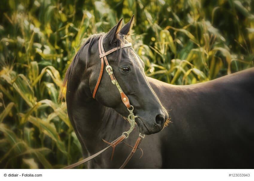 Pferd im Maisfeld mit Westerntrense