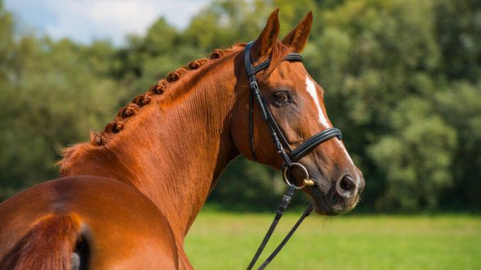 Die richtige Trense verbessert die Kommunikation von Pferd und Mensch.)