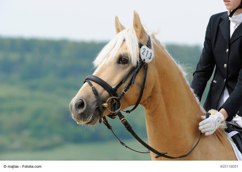 Pony mit Trense. Eine Trense besteht aus einem Trenszaum, einem Gebiss und Zügeln.