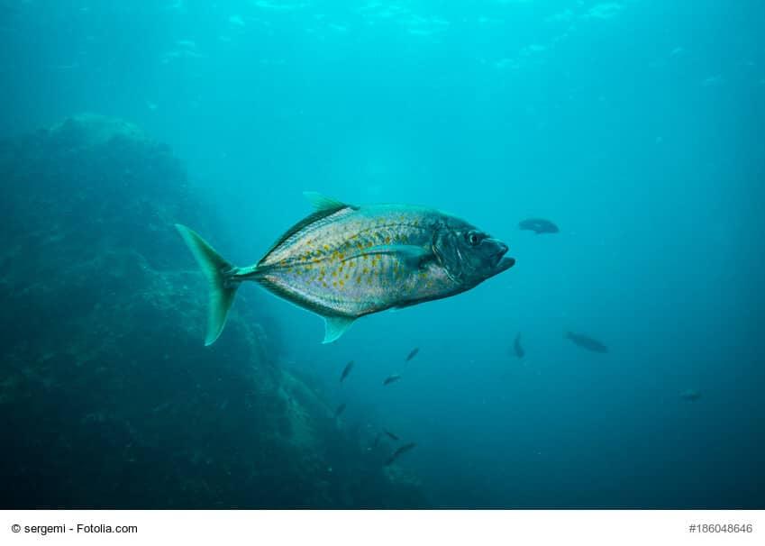 Ein Schwarm Tunfische schwimmen im Meer